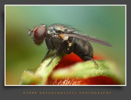 housefly6 by dhead