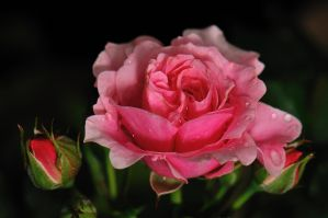 Rainy Roses by WestLothian
