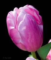 Pink Tulip by StephGabler