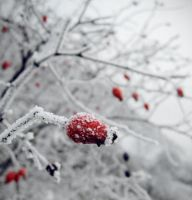 Winter berries by ivuliena