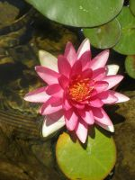Water lily 2 by gsdark-stock
