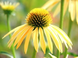 Yellow Cone Flower by dmguthery
