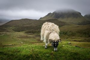 Highland Sheep by knilch