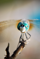 Dragon fly 2 by molkoaddict