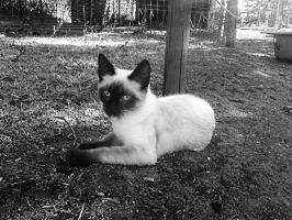 Siamese Cat by ScHoKoKeKsChEn