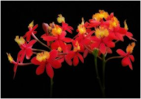 RED ORCHIDS by THOM-B-FOTO