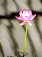 inside the lily house pink2 by ranapoo