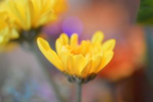 Buttercup by SharPhotography