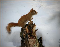 Squirrel 3 by cdr80700