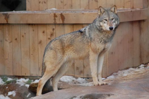 Wolf stock 1 by Ulvar-Stock