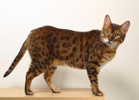 Bengal Cat Side Stock 20150125-1 by FurLined