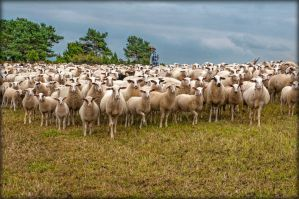 Sheep with Shepherd by brijome