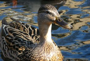 Duck in pond by Wadyface