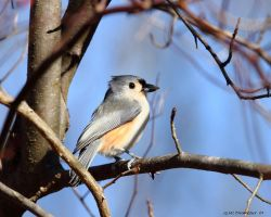 Tufted Titmouse's Dinner by natureguy