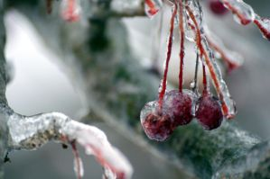 cold crab apple by Cheyanne-Stinson