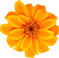 Yellow Orange Persian Zinnia by Thy-Darkest-Hour