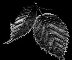 two leafs by augenweide