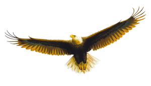 Cut Out Eagle by SolStock