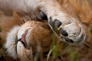African Lion 82 by catman-suha