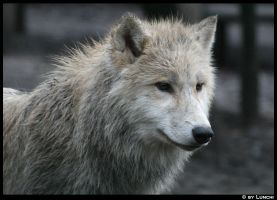 Young wolf by Lunchi