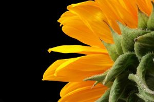 Sunflower II by FrozenCandle