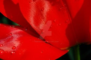Closeup of Droplets on Tulip by umboody