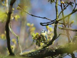 Blue tit by pagan-live-style