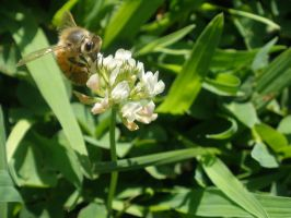 Bee on the 'weed' 2 by ThruTheLens811