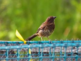 Brown Sparrow On Fence by wolfwings1