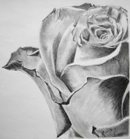 Pencil art of Rose by Joy-cheers