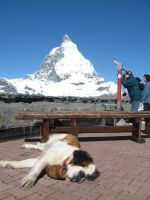 St. Bernard at the Matterhorn by jmei79