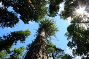 Tallest trees in the world by smokinsteve57