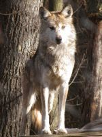 Mexican Wolf Stock 8 by HOTNStock