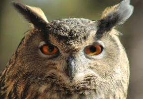 The Owl with Piercing Eyes by I-Heart-Photos