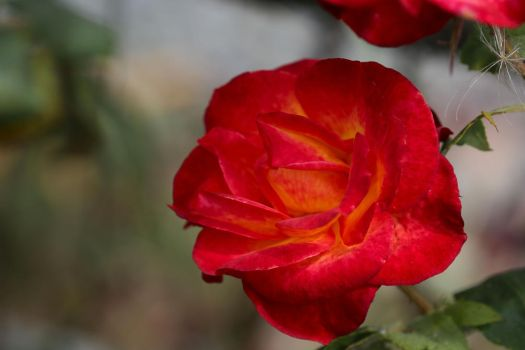 Rosa 'Perfect Moment' by Caloxort