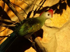 Red-crested Turaco by Vihartancos