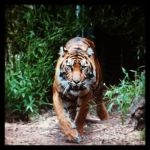 Tiger from the undergrowth by NinthTome