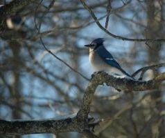 Blue Jay 2013: On Branches 4 by toshema
