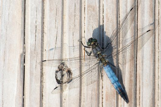 Blue Dragonfly by LordGuardian