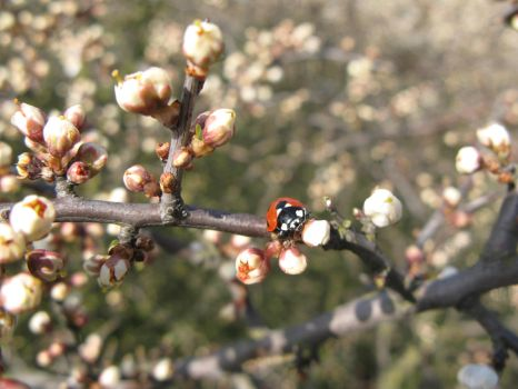 Ladybird in spring by Arahsay