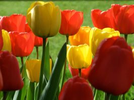 Easter Tulips by JeremyStandifird