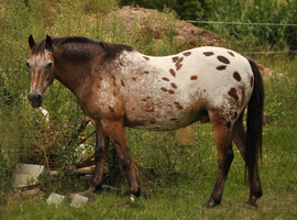 Blanket Appaloosa Stock by naturalhorses