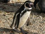 Walking of the penguin by Momotte2