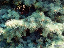 Pine by piticus41