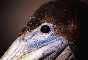 Pelican Profile by iFix