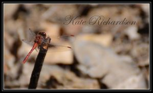 Dragonfly 5 by DesignKReations