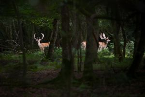 Wild deer in forest by RichieSmith27