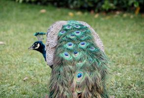 Peacock5 by Dewheart85