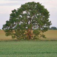 Solitary tree in a field, on a June evening by NicolasZerling
