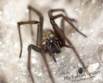 Beautiful Female Tegenaria Atrica in her web by TheFunnySpider